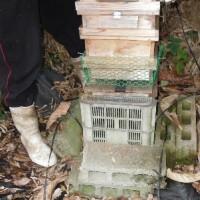 日本ミツバチの箱を入れ替え、砂糖蜜の給餌を開始/配偶者控除維持 「働き方改革」に値しない
