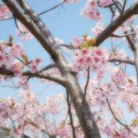 桜並木の河津桜。