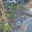 秋採りカボチャは上手く育つのか