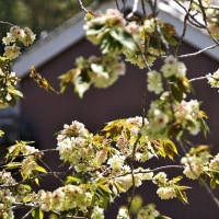 御衣黄桜の花 (南伊勢町)