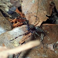 奄美大島のクモ:アマミクチバハエトリ