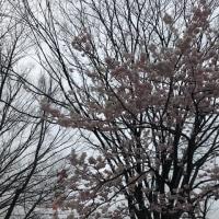 野田市の「一番桜🌸」