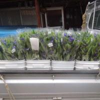 リンドウが咲始めてきんさい館に出荷しています