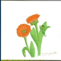 鮮やかな オレンジ色で 可愛い花ですが・・・