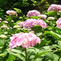 デジブック 『牛伏山紫陽花の道』  H-29- 6-22
