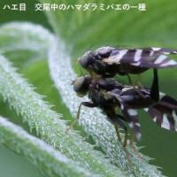ツマグロコシボソハナアブ、ネジロクロミバエ