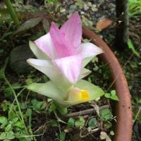 ウコンの花❓