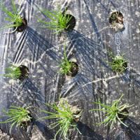 分葱とニンニクの発芽