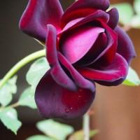 二番花 ルイ十四世