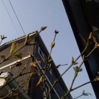 神奈川の開花は本日ですかね