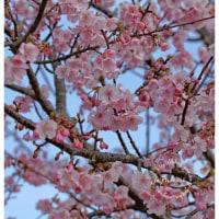 河津桜 16