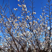 シロバナタンポポが咲いていた