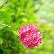 真夏の紫陽花