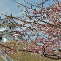 宇都宮城址公園の河津桜は今週末が見頃かな