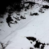 雪の中のイノシシの足跡。(2/20*月)