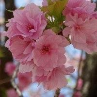 八重桜イン広島を楽しむ