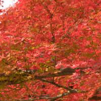 新宿御苑の紅葉 (2016/11/30)