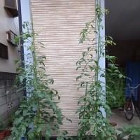 野菜栽培都会風