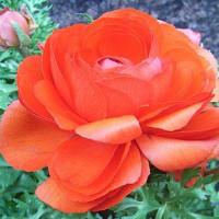 季節の花「ラナンキュラス」