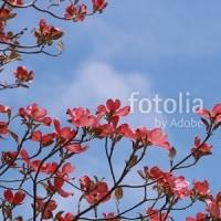 fotolia「青空とピンクのハナミズキ」 もう1周年!