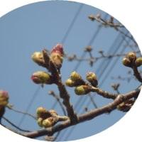 いよいよ 春到来~ 桜の蕾も膨らんできました。
