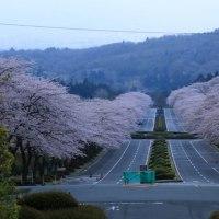 満開の桜を眺めて