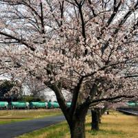ヒガハスの桜2017(2)