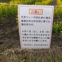 """京田辺市普賢寺で、""""菜の花&河津桜""""を愛でる"""