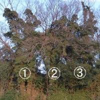 キヅタ 落葉樹に這い登る