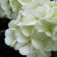 オオデマリ(大手毬)白い紫陽花に似る