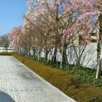任天堂本社の桜