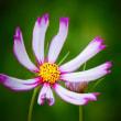 『季節の花』 コスモス