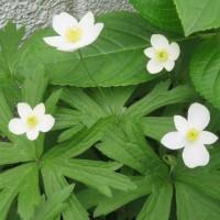 エゴノキ、ニリンソウ、コアジサイ…、5月の花に出会いました