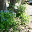 青色のヤマアジサイの美しさ