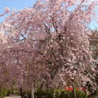 さくら咲く場所(4月16日の出来事)