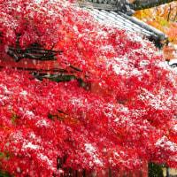 紅葉と雪の豪徳寺