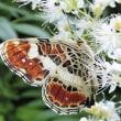 サカハチチョウはホザキナナカマドが好き