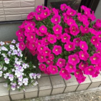 花盛りです。