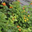 夏のお花とカルガモちゃん達