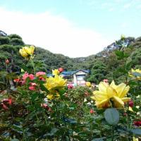 小さな手まりピンとバラのお庭
