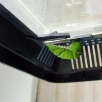 ナミアゲハの前蛹とクロアゲハの幼虫