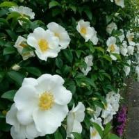 散歩道のお花&お家のお花