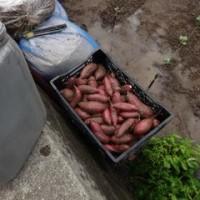 食害の酷いサツマイモは、無料野行きです