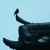 鳥と屋根  大津市