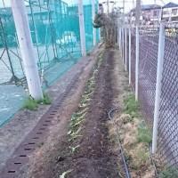 さつまいもの苗を植えた・・  (今年は3種類)