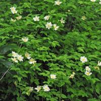 シロヤマブキとヤマブキの白花