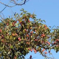 秋晴れに柿