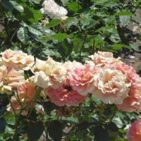 花菖蒲とバラが見ごろです(in鶴舞公園)