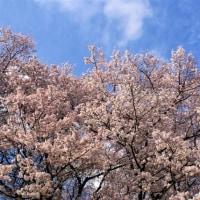 背割堤の桜が満開(TT)