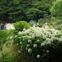 広島植物園のアジサイ